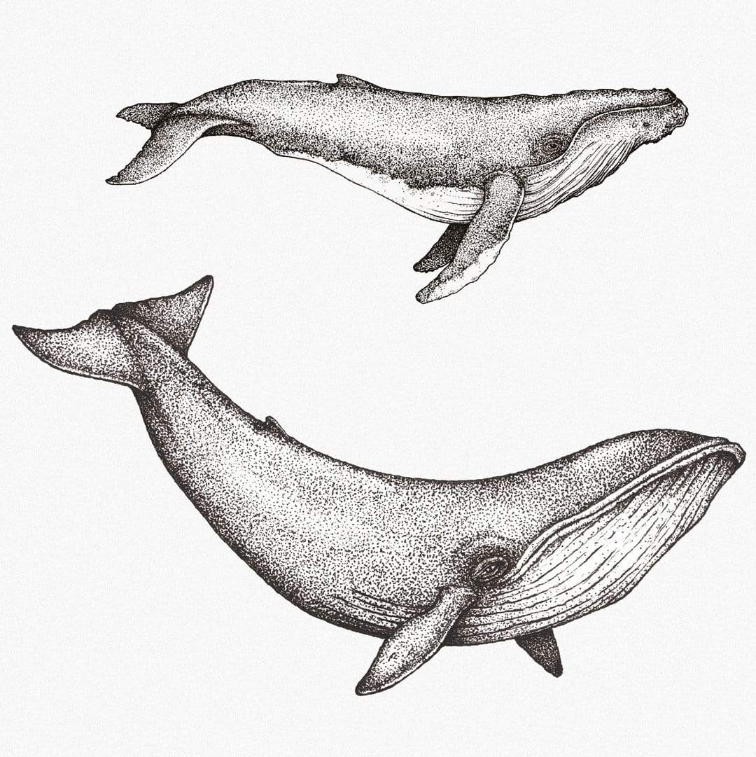 Whale Species Natural Art Print by Nathan Miller