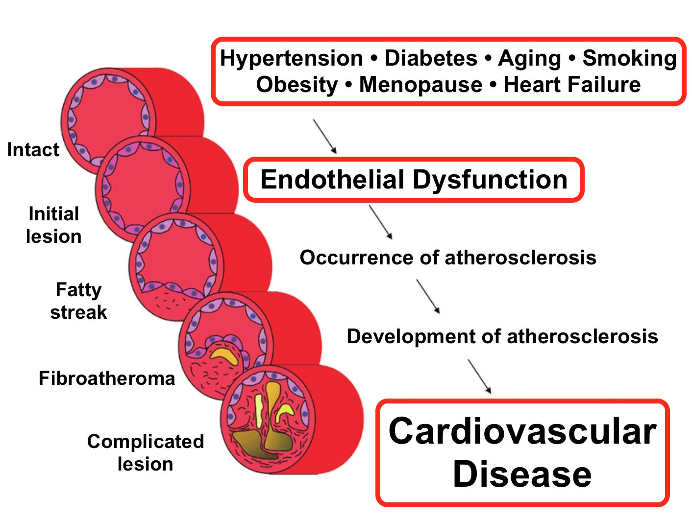 palo azul vs endothelial dysfunction or clogged arteries