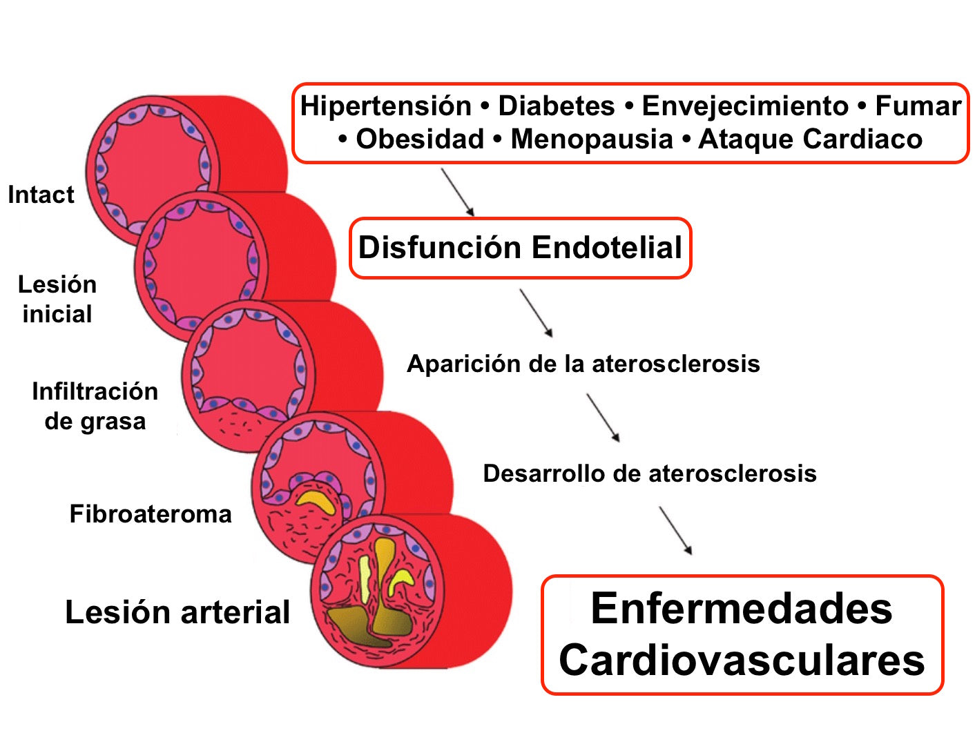 funcion endotelial aterosclerosis