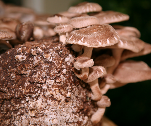 Shiitake mushrooms growing in a forrest