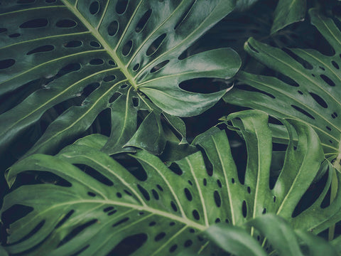 Monstera plant with deep green leaves.