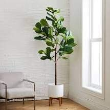 Fiddle Leaf Fig Tree Plant Food