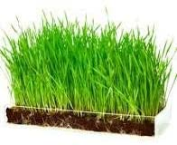 Wheatgrass Sprouting Seeds