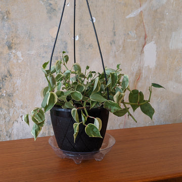 Peperomia Scandens Plant