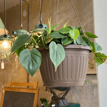 Green Philodendron Hanging Basket