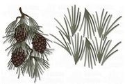 Dee's Distinctively Dies - White Pine Needles