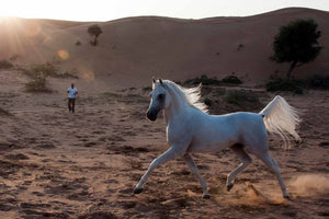 Proud Arabian Horse