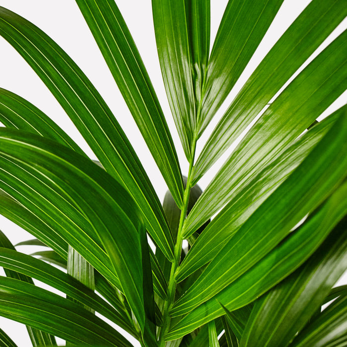 Verzorging Kentia Palm