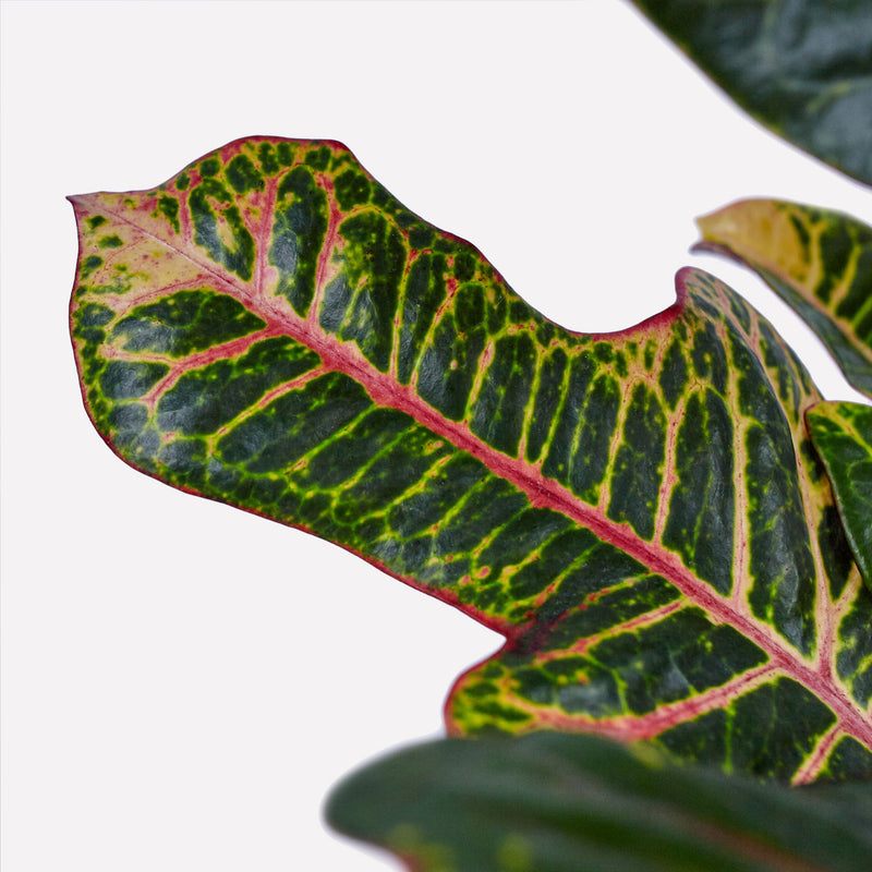 Croton Excellent, close up van blad met geel, groen en rode accenten.