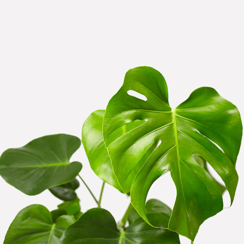 monstera deliciosa, close up van blad met gaten