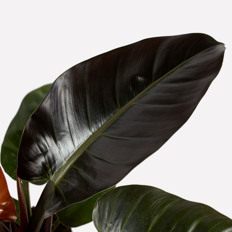 philodendron imperial red, close up van groot donkergroen blad.