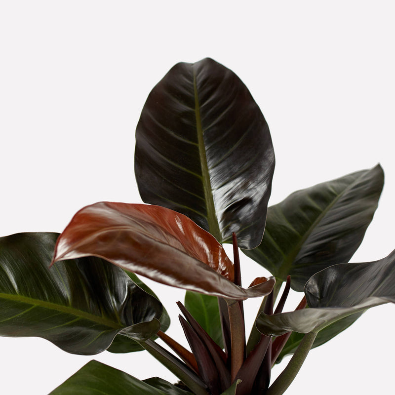 philodendron imperial red, grote donkergroene, rode bladeren.