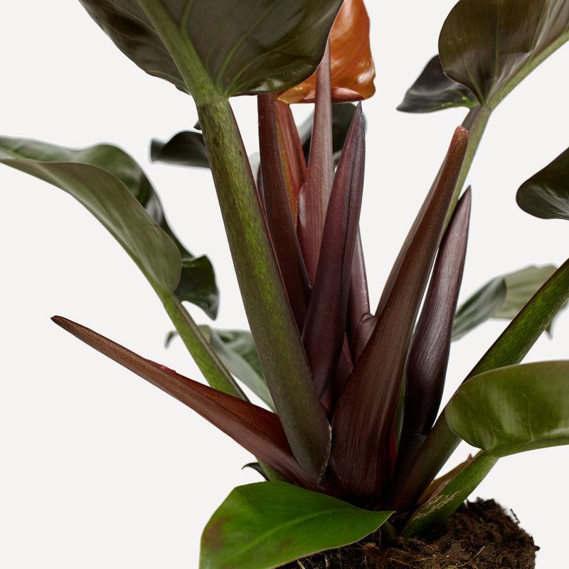 philodendron imperial red, close up stengels met grote donkergroen, rode bladeren.