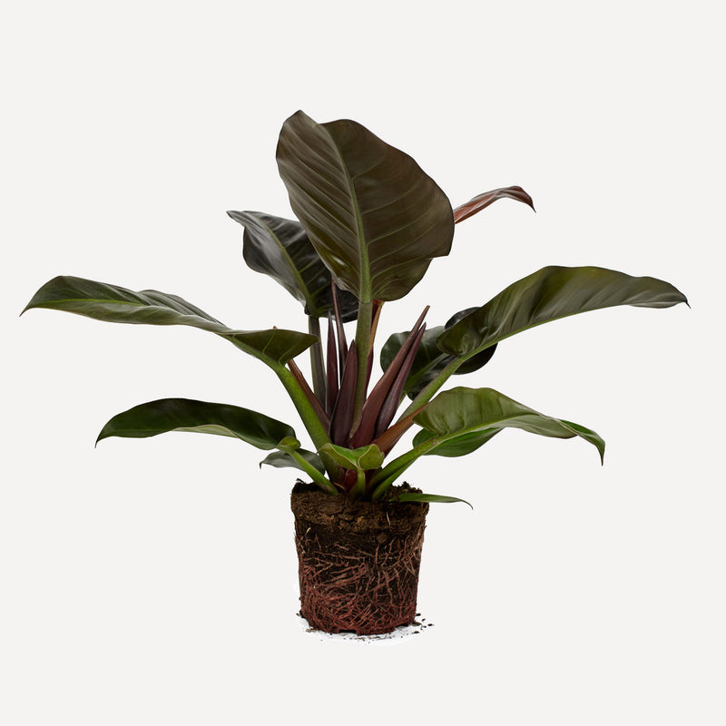 philodendron imperial red, hele plant met grote donkergroen, rode bladeren.