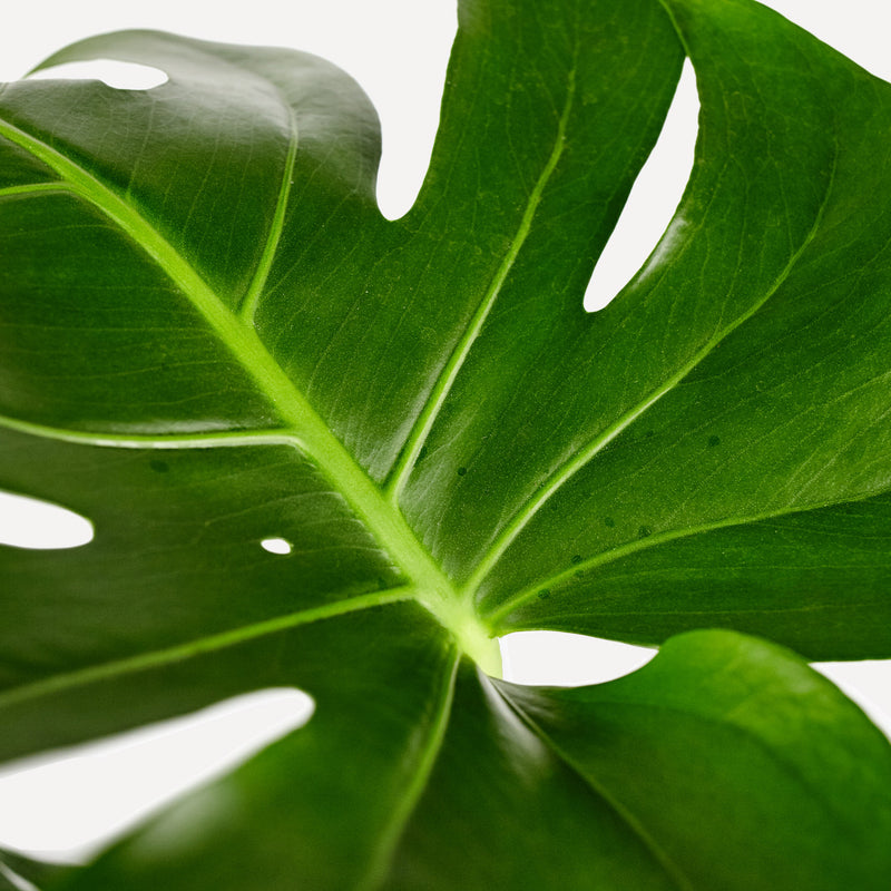 Monstera, close up van blad met gaten.