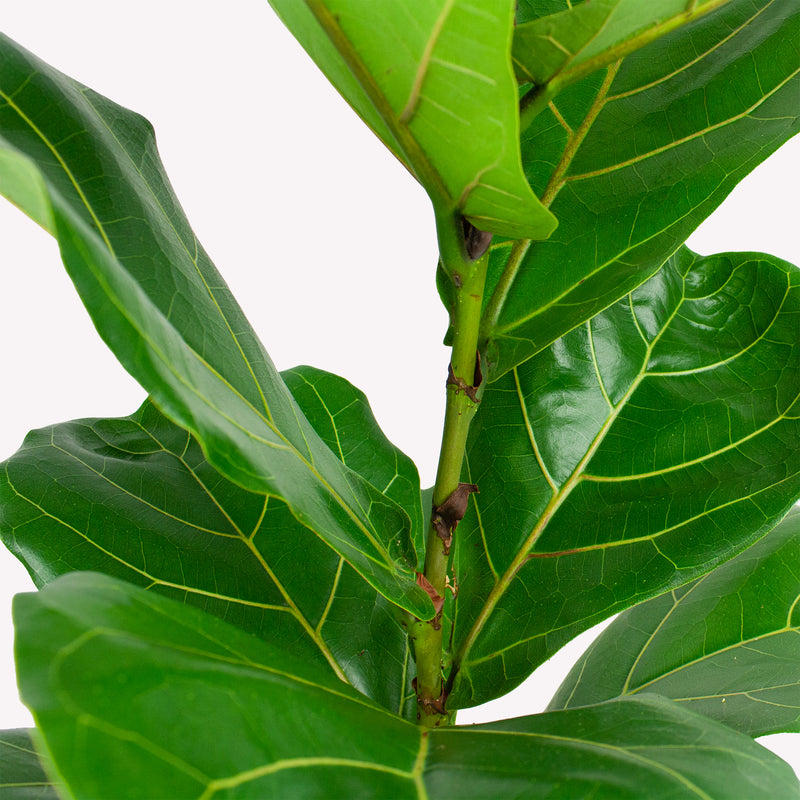 Ficus lyrata close up van blad en stam