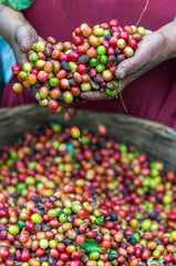 coffee cherries process, coffee beans from farm to up, beyond fair trade coffee