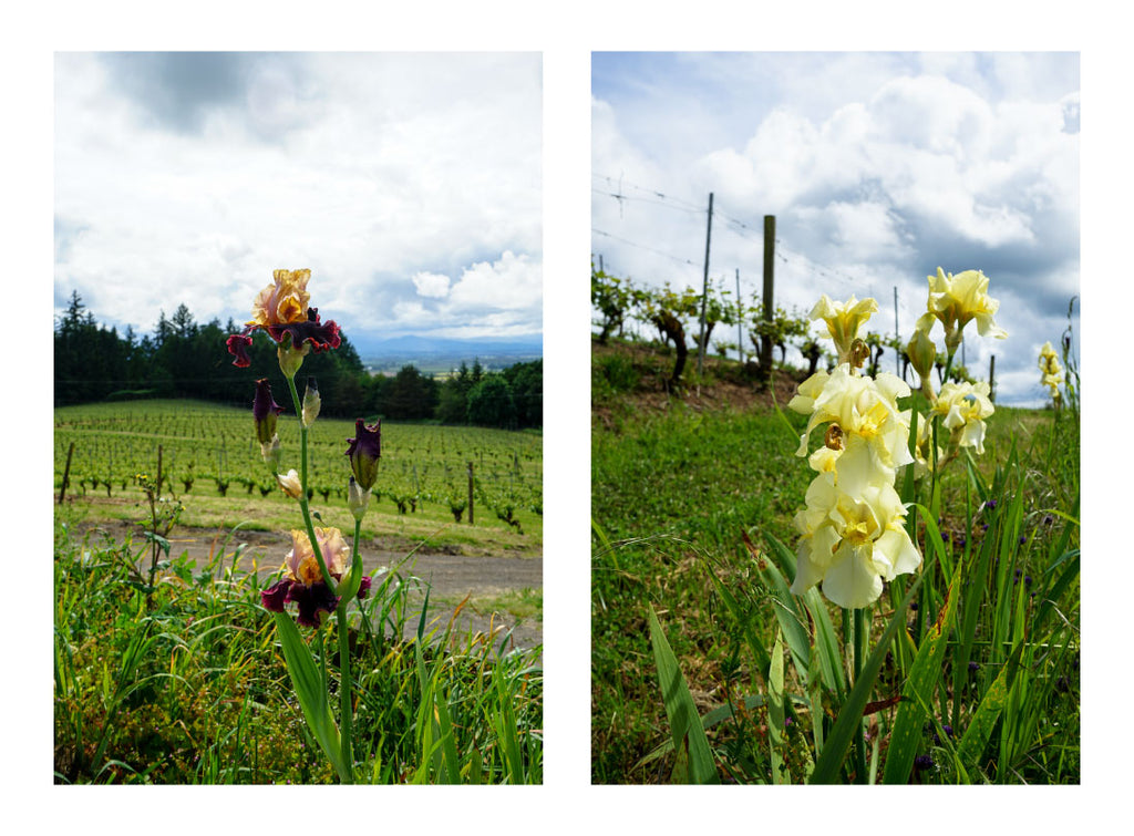 Amity Vineyards Iris