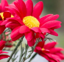 Load image into Gallery viewer, Transvaal Daisy Red