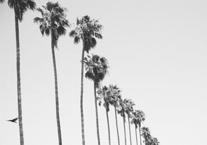 California Palms B&W
