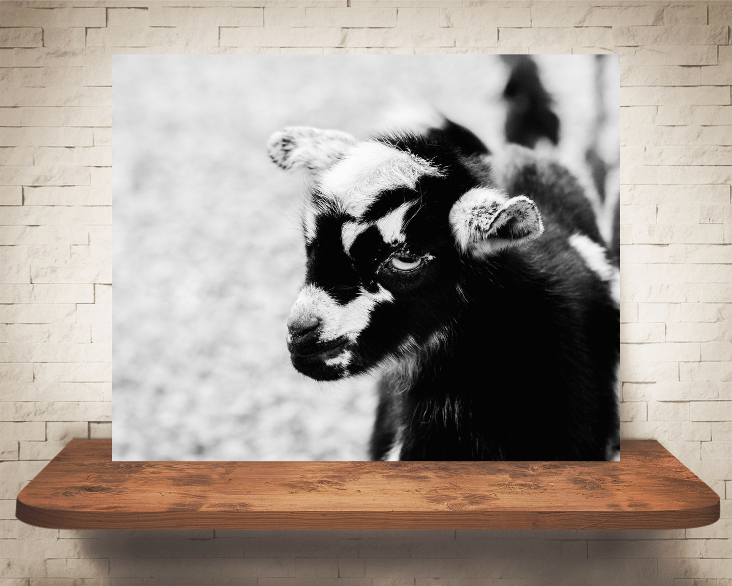 Baby Goat Photograph Black White