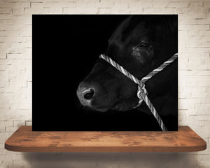 Black Angus Cow Photograph Black White