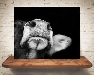 Brown Swiss Cow Photograph Black White