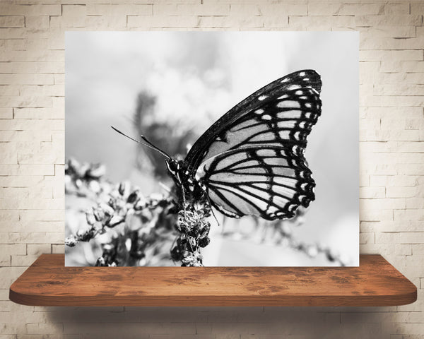 Monarch Butterfly Photograph Black White