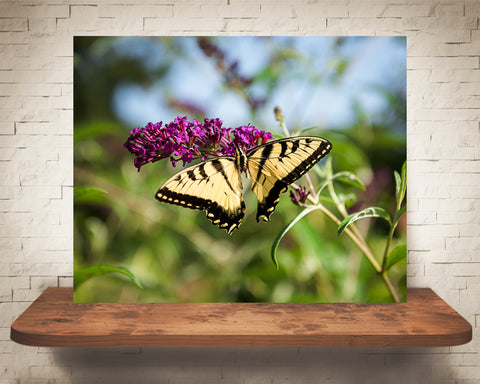 Swallowtail Butterfly Photograph