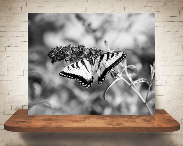 Swallowtail Butterfly Photograph Black White
