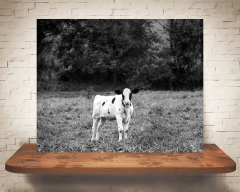 Cow Calf Photograph Black White