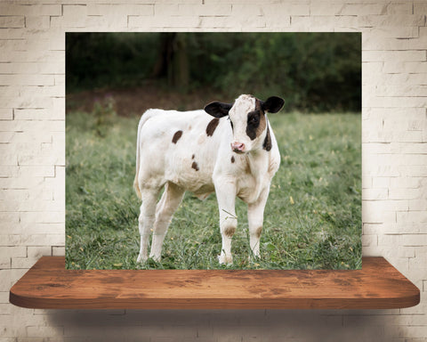 Cow Calf Photograph