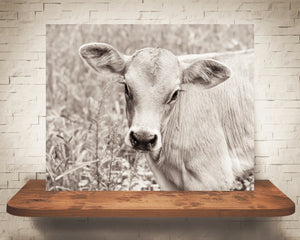 Brown Swiss Cow Photograph Sepia