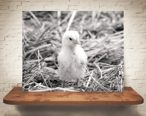 Chick Photograph Black White