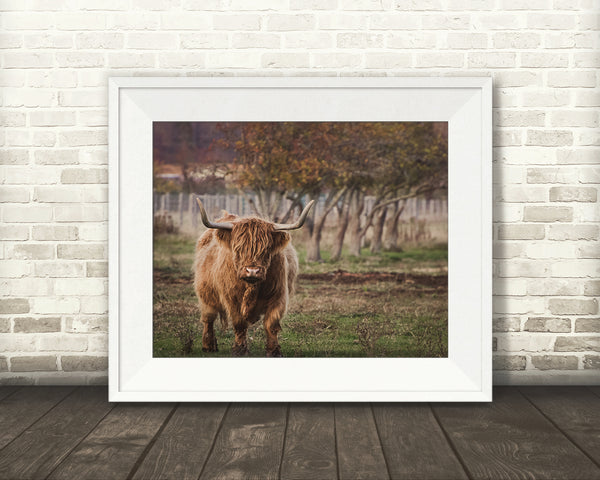 Scottish Highland Cow Photograph