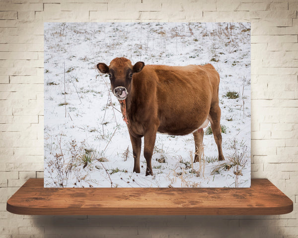Jersey Cow Photograph