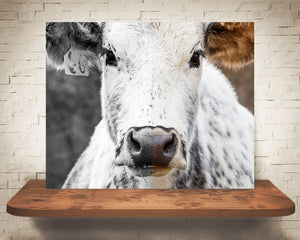 Cow Photograph Color and Black White Mix
