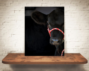 Black Angus Cow Photograph
