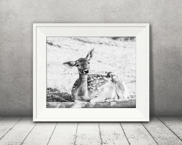 Deer Fawn Photograph Black White