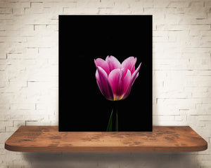 Pink Tulip Flower Photograph