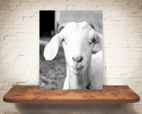 Goat Photograph Black White