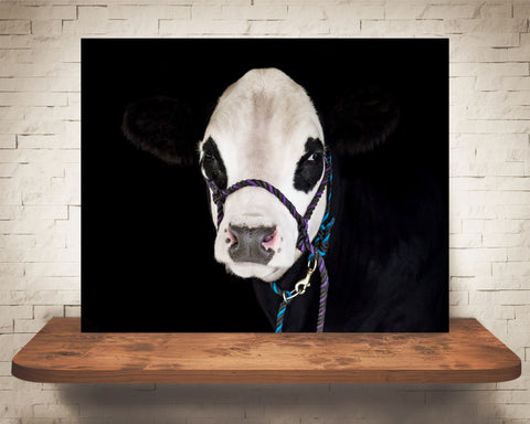Black Hereford Cow Photograph