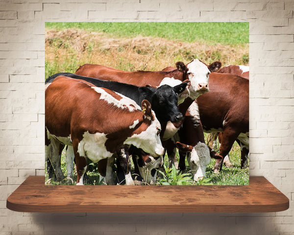 Hereford Cattle Cow Photograph