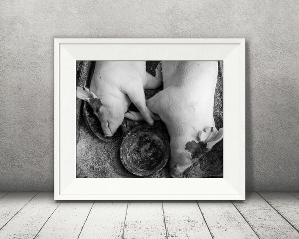 Sleeping Pigs Photograph Black White