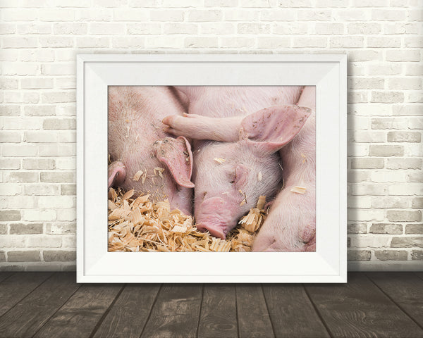 Baby Pigs Photograph