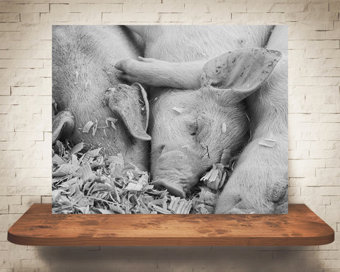 Baby Pigs Photograph Black White