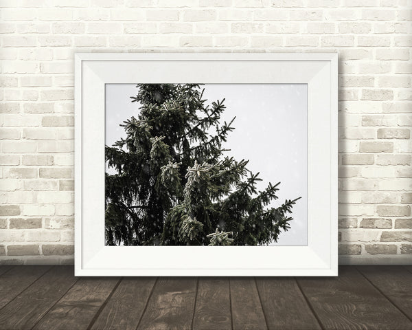 Pine Tree Photograph Snow