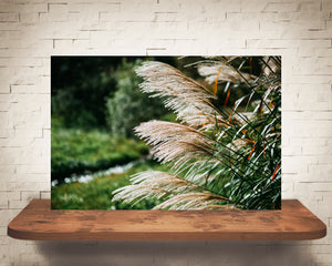 Pampas Grass Photograph