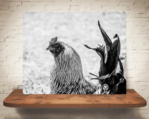 Chicken Rooster Photograph Black White