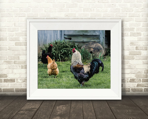 Chicken Rooster Photograph